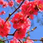 Chinese quince flowers (Chaenomeles speciosa)