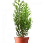 Thuja sapling in a pot