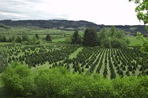 Start A Christmas Tree Farm Business