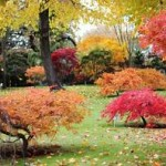 Growing Japanese Maples For Profit
