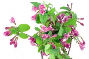 Pink Weigela background
