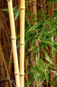 BAMBOO - Profitable Plants Digest