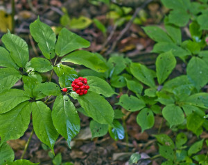 profitable ginseng berries