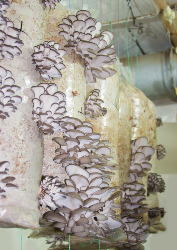 Oyster mushroom farm business plan