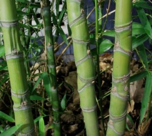 How To Grow U-Cut Bamboo For Profit - Profitable Plants Digest